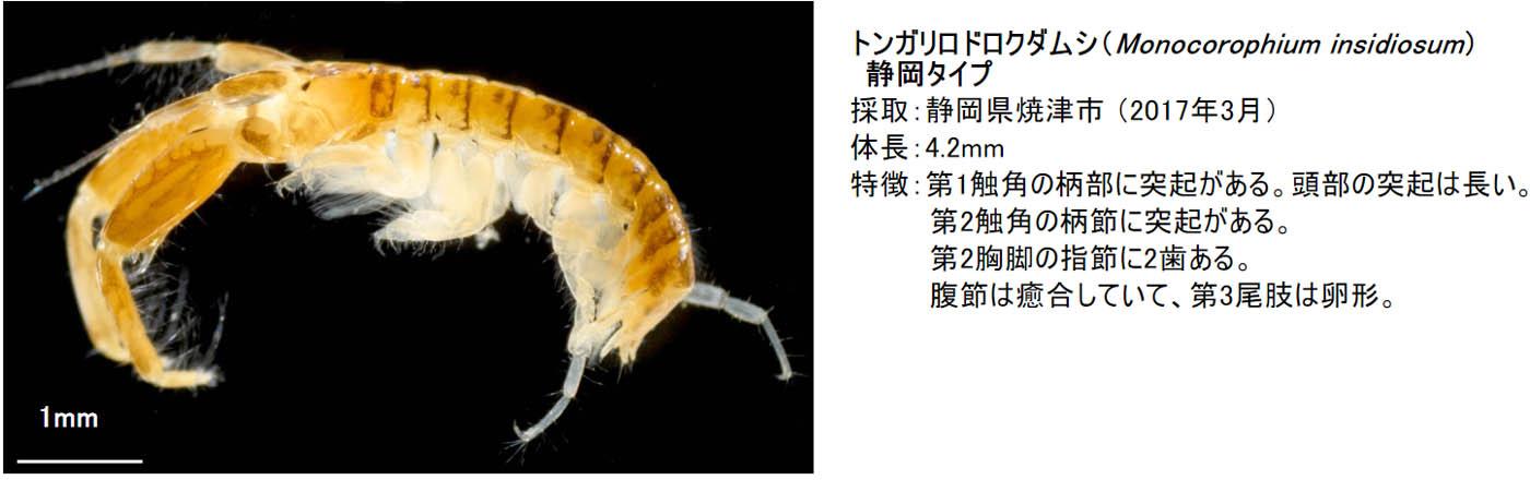 11_monocorophium-insidiosum