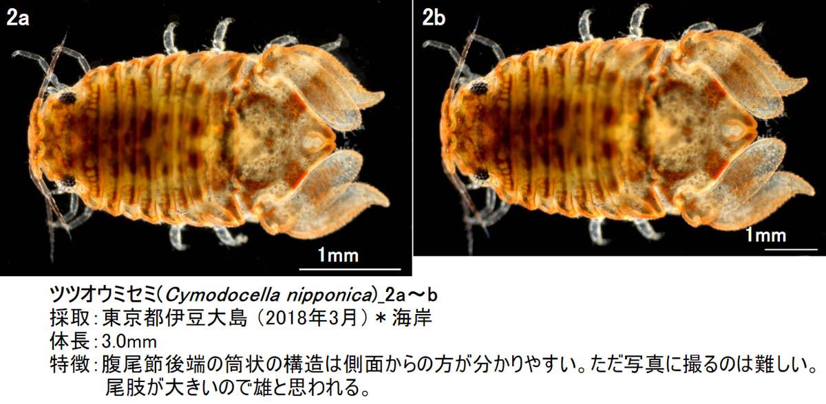 13_cymodocella-nipponica