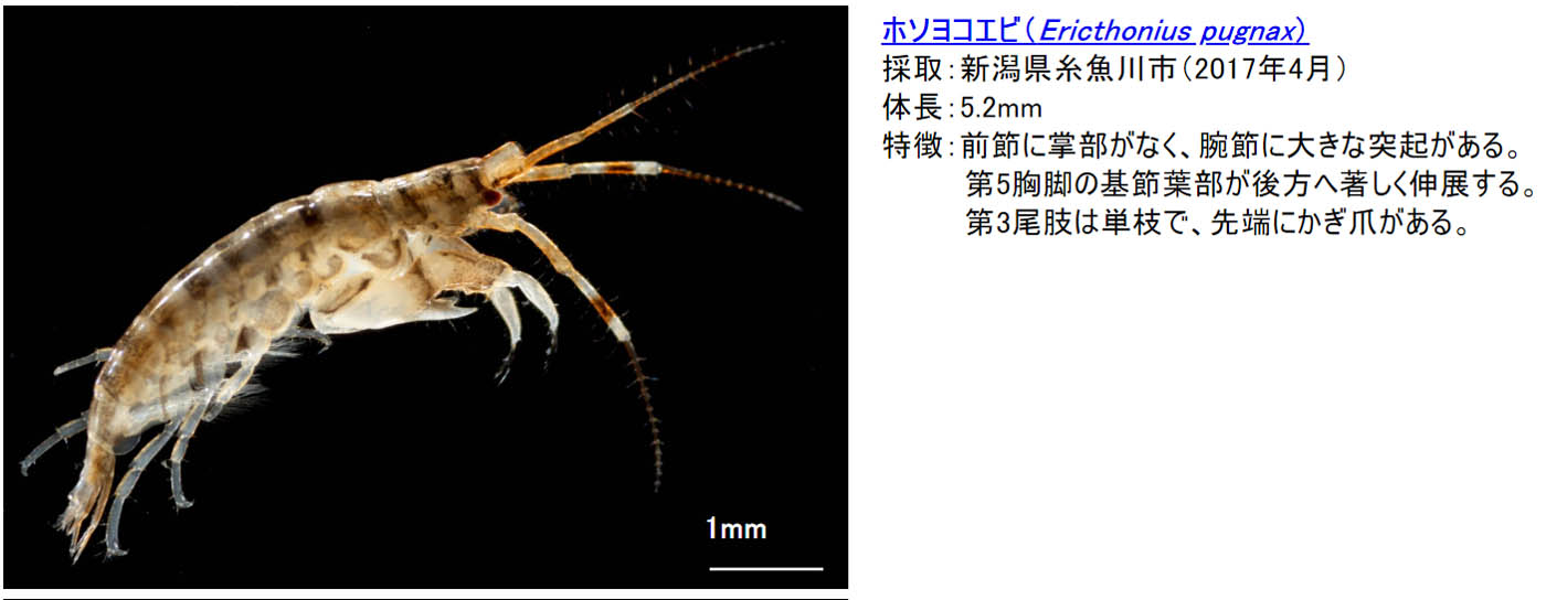 14_ericthonius-pugnax