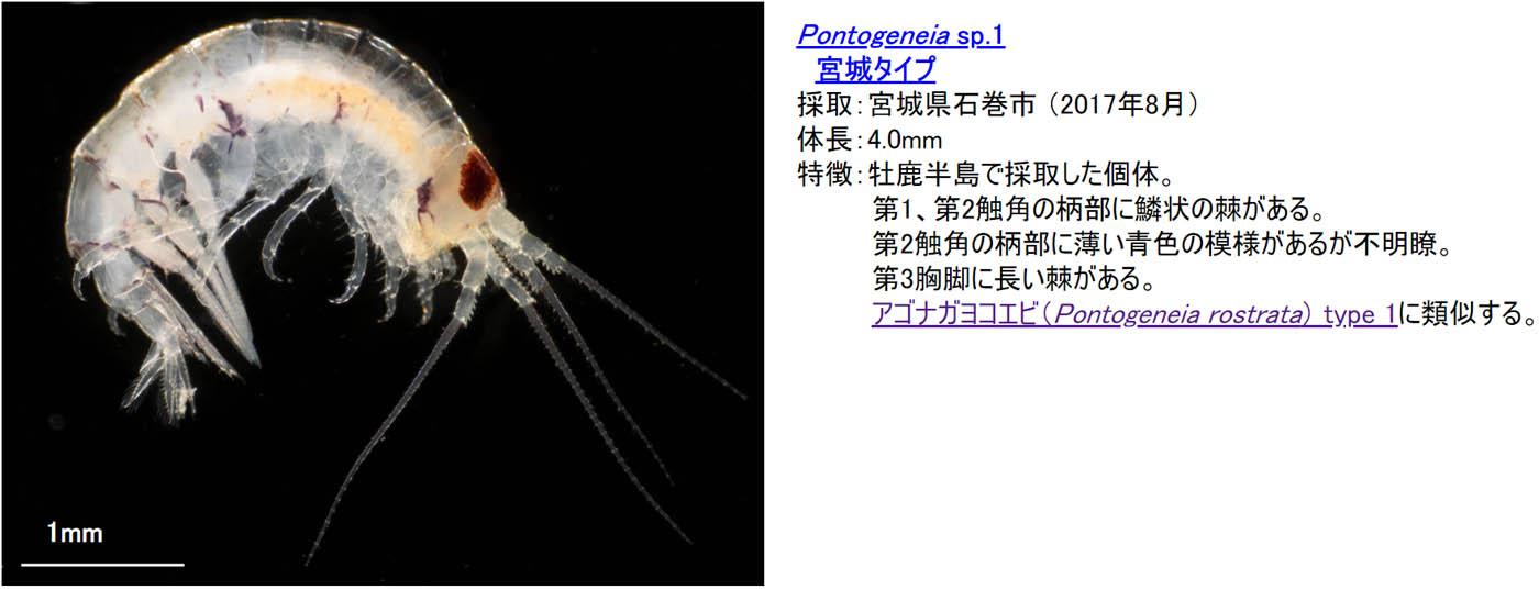 17_pontogeneia-sp1