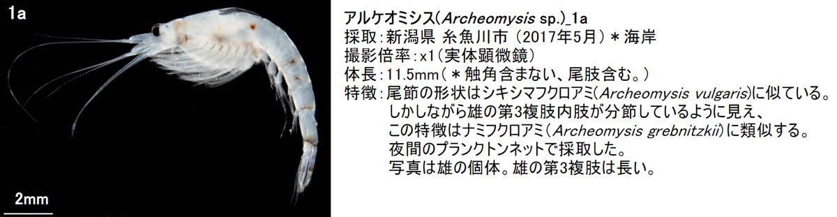 1_archeomysis-sp_