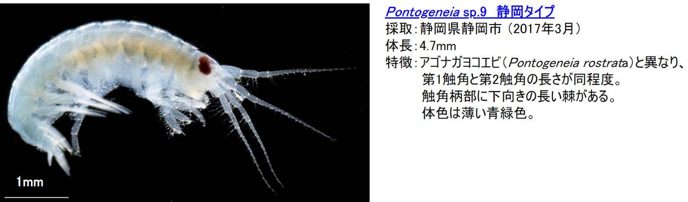 21_pontogeneia-sp9