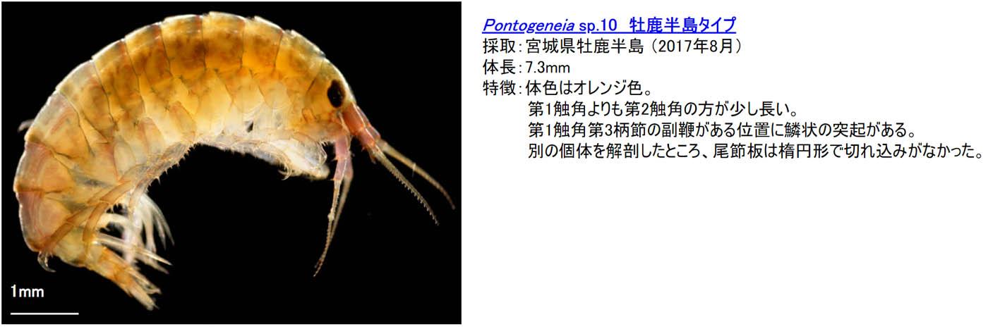 22_pontogeneia-sp10