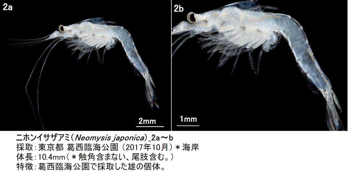 2_neomysis-japonica