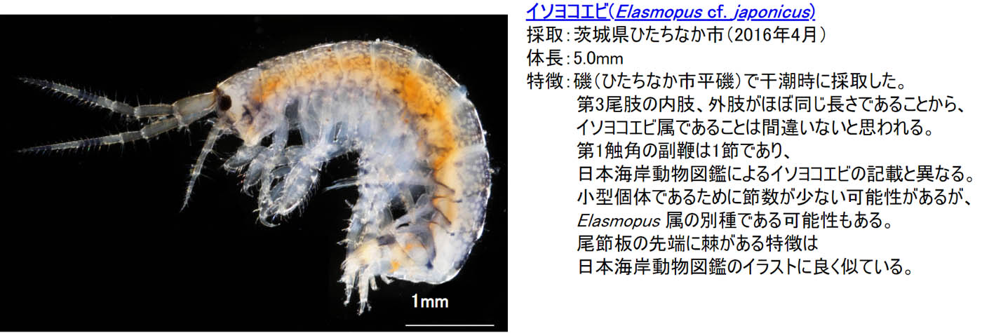 33_elasmopus-cf-japonicus
