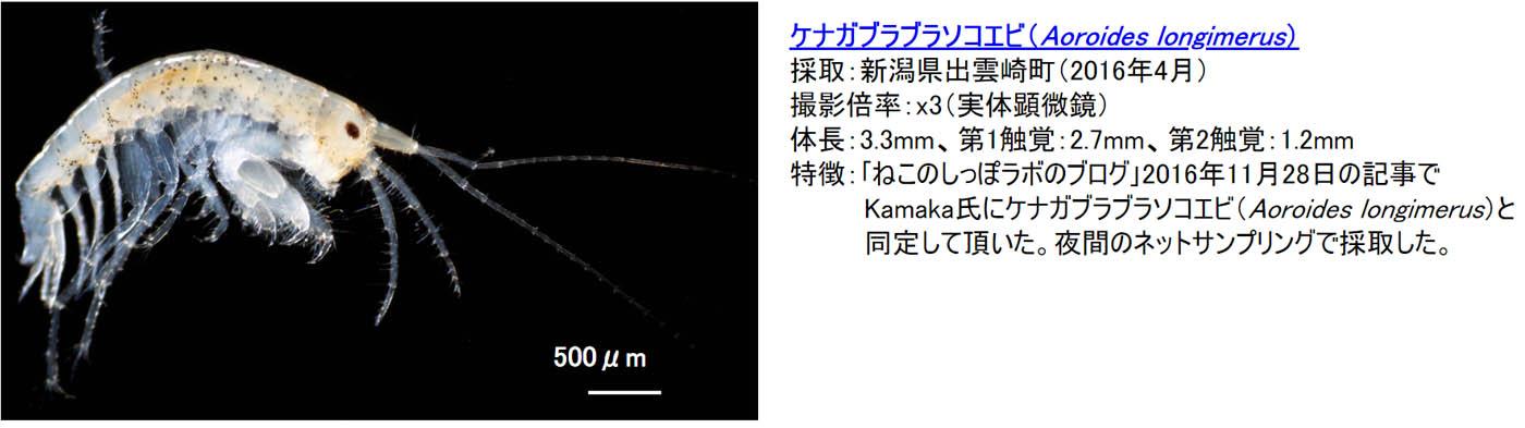 9_aoroides-longimerus